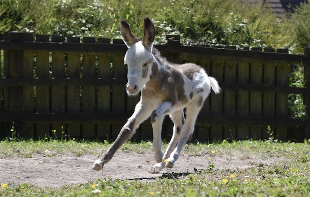 coby donkey foal donkey sancuary