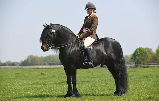 Horse No 118, Champion of the HOYS M&M Ridden during the TSR Spring Show at Onley EC near Rugby in Warwickshire, UK on 7th May 2018