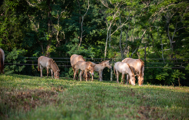 Przewalski's Horse Foals