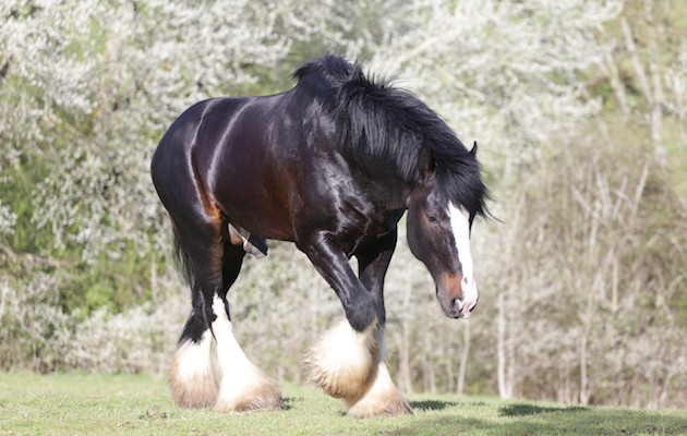 Shire stallion who saved mare's life named animal hero of the year - Horse & Hound