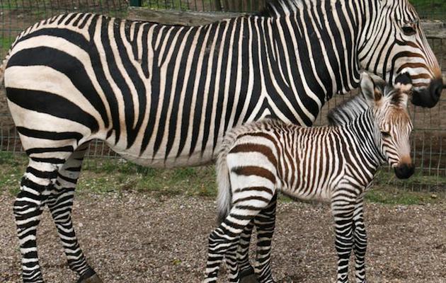 Hartmanns mountain zebra foal