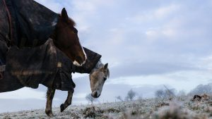 FFMBPH Oxnam, Jedburgh, Scottish Borders, UK. 12th February 2016. A horse and pony in New Zealand winter rugs enjoy grazing in a frost