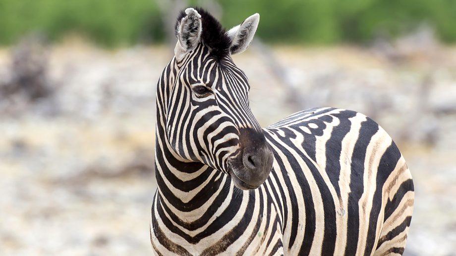 Earning their stripes: zebras' coats deter horseflies, study finds - Horse & Hound