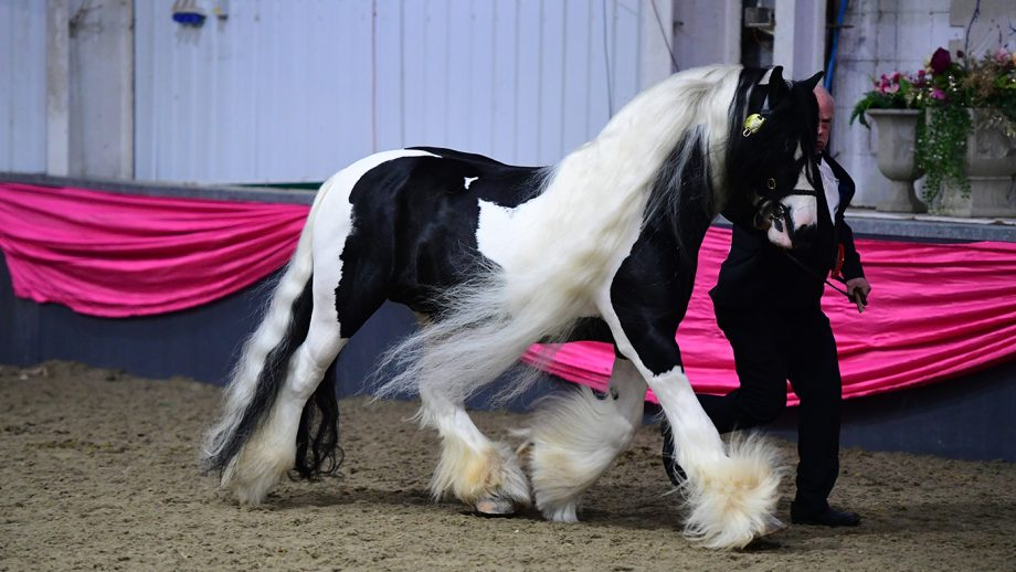 Domino Bad Boy (Horse No 141), In-Hand Supreme Champion during the BSPA Festival of Showing and Winter Championships at The College Equestrian Centre in Keysoe near Bedford in Bedfordshire in the UK on 24th February 2019