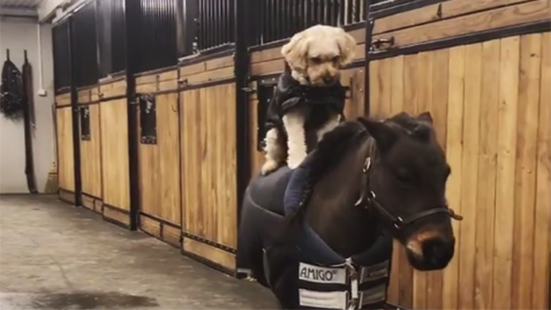Dog rides Shetland and 10 other great bits of horsey social media this week