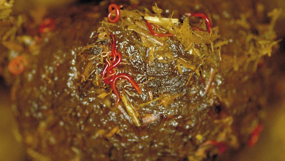 Horse worms include redworms shown here in horse droppings