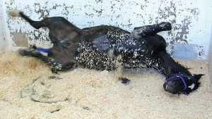 A horse with colic may roll due to the pain.