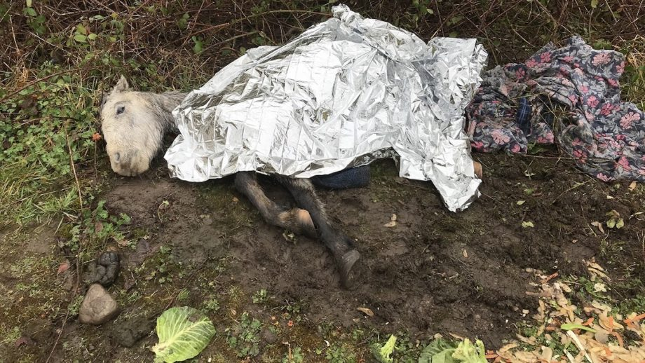 Young mare found collapsed with broken pelvis had to be put down