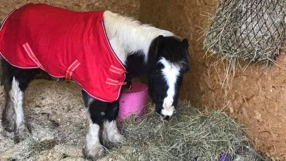 Tiny pony dumped to die leaves legacy to help other horses
