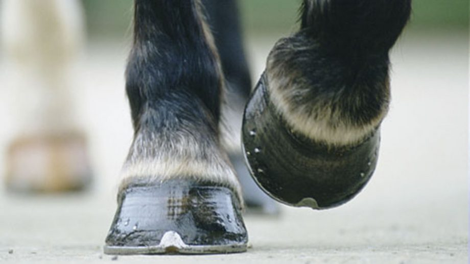 Closeup of a horses hooves / hoof with new shoes