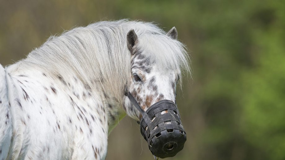 laminitis in horses and ponies