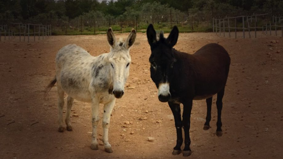 Lonely donkeys with sight issues overcome hurdles to form 'incredible' bond