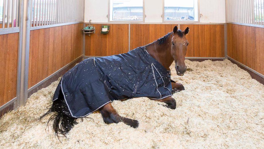 J0FANJ Warmblood Horse. Bay adult dosing in its box. Germany