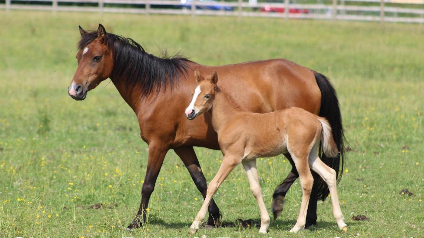 Future Uncertain For World S Largest Herd Of Rare Breed Horse Hound