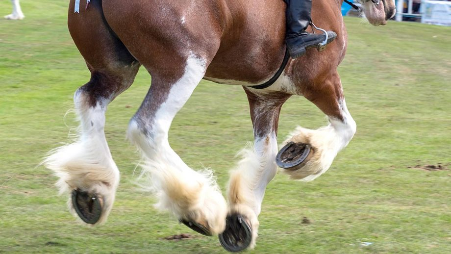 PEXJKT Turriff, Scotland - 06 Aug 2018: Riding Clydesdale Horses at the Turriff Agricultural Show