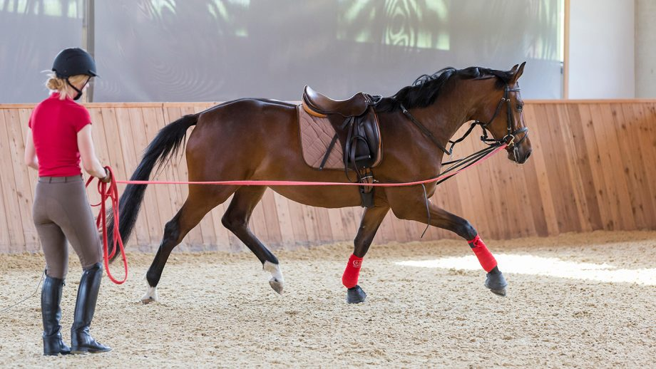 F64Y6K Trakehner. Bay mare being longed in a riding hall. Austria