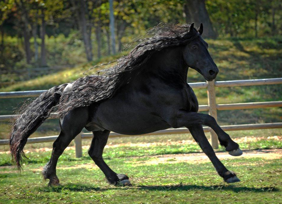 The real-life Black Beauty: meet the stallion dubbed the 'most beautiful horse in the world'