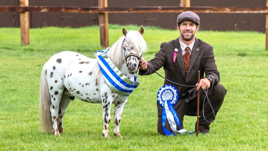 A spot-tacular sight: 8 photos of spotted horse and ponies at their annual breed show…