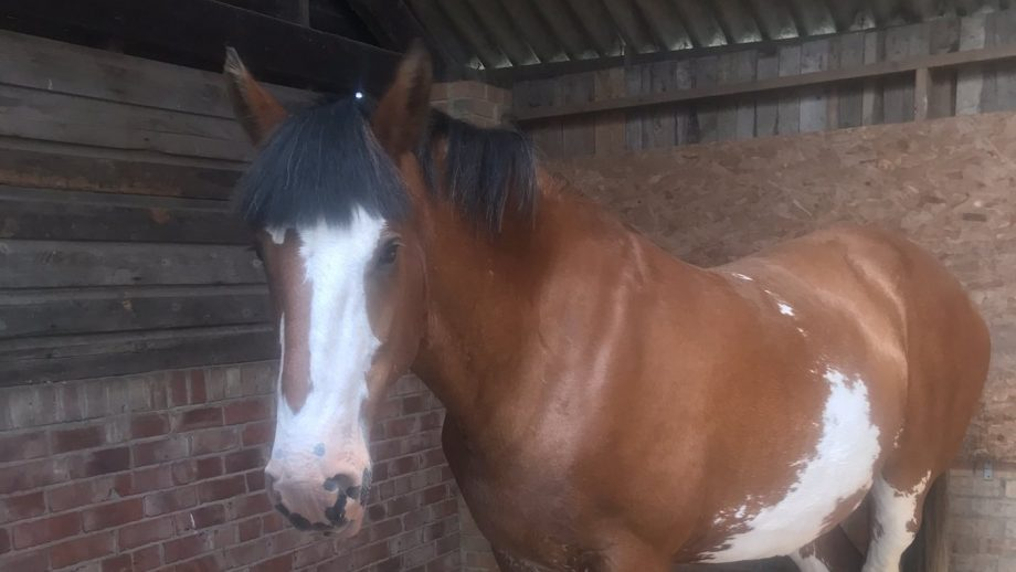 Girl power: police force recruits first mare in 162-year history