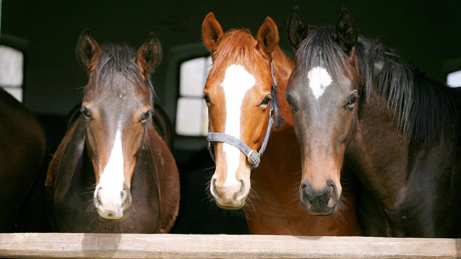 EE1J9X Nice thoroughbred horses in the stable. Youngsters looking over the barn door. Purebred mares standing at the a stable fence