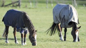 Two horses turned out together in protective boots. one headcollared. sunny winter day.