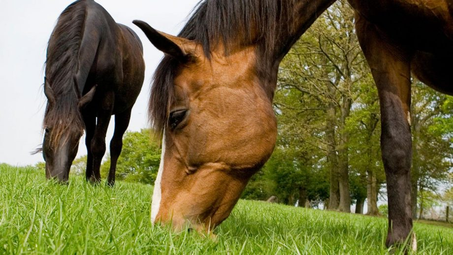 Grass sickness is an often-fatal condition that typically occurs in grazing horses