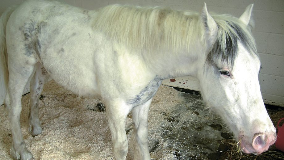 A horse suffering from tetanus