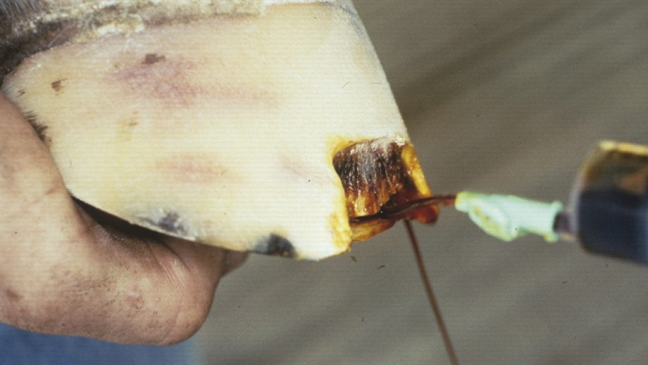 White line disease, also known as seedy toe