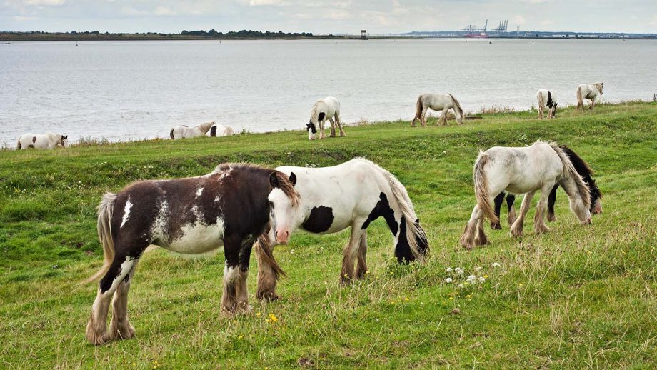 E6M6AF Abandoned Gypsy Cobs fly Grazing on the banks of the river Thames, Gravesend.