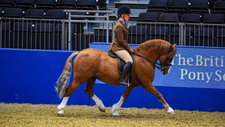 Lynuck The Snowman exhibited by Rebecca Penny during The BSPS Ridden Mountain and Moorland Championship sponsored by Lemieux at Olympia, The London International Horse Show held at Olympia in London in the UK, between the 16-22 December 2019