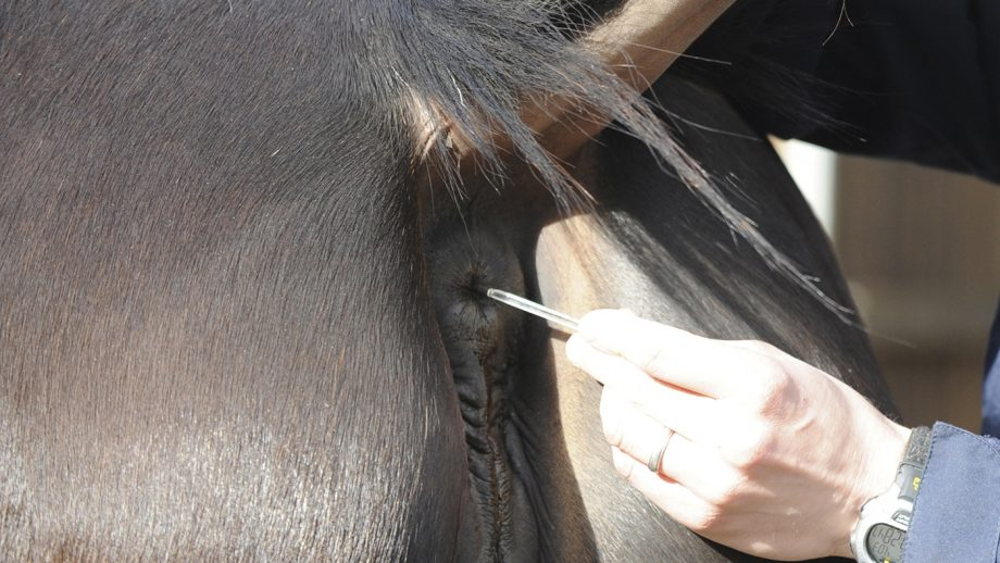 Taking a horse's temperature is one of the simple horse health checks that all owners should be able to do