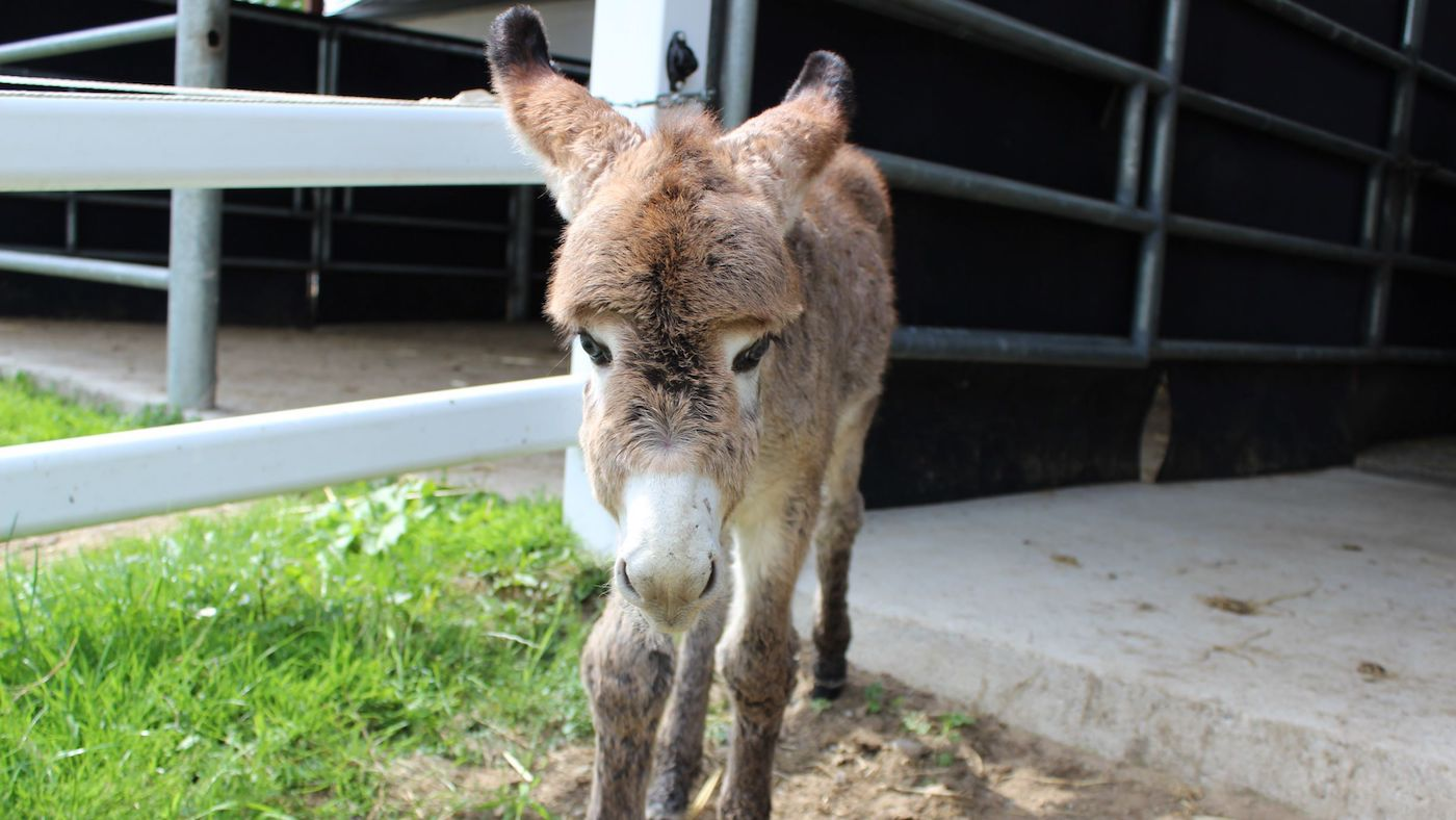 Donkey foal without a mother makes his way in the world with new-found friends - Horse & Hound