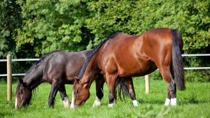 H0WA11 Horse and pony grazing in a field summer UK