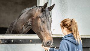 groom feeding horse feed