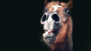 MJ04CX Portrait of a horse with a funny, restless and anxious expression behind a wooden barn gate