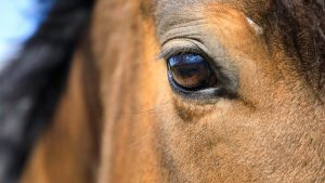 T9BNDG Eye of the horse close up