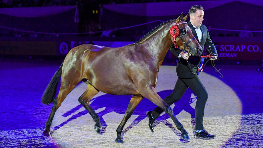 Sally Mcmillan owner of HERONSMILL TIGER LILY, winner of the Cuddy Supreme In-Hand Championship during the Horse of The Year Show at the NEC in Birmingham in the UK between the 2nd - 6th October 2019