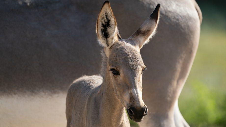 Rare African Wild Ass foal