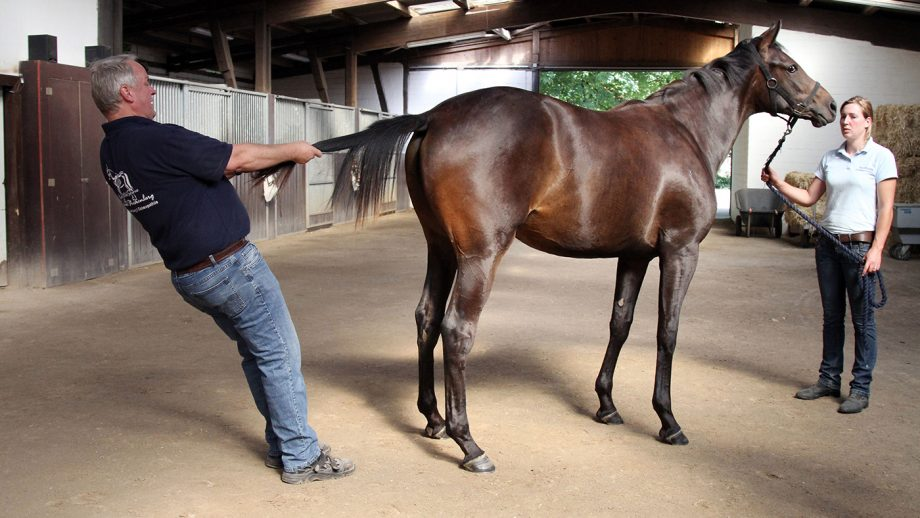 Equine osteopath Michael Stuckenberg treating a horse by using tail pull traction therapy.