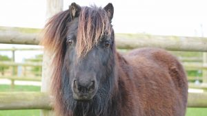 Shetland pony Bransby Horses