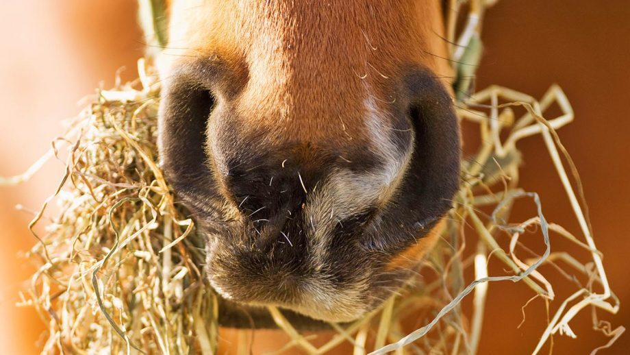 B5NPJG Close up of horse eating hay