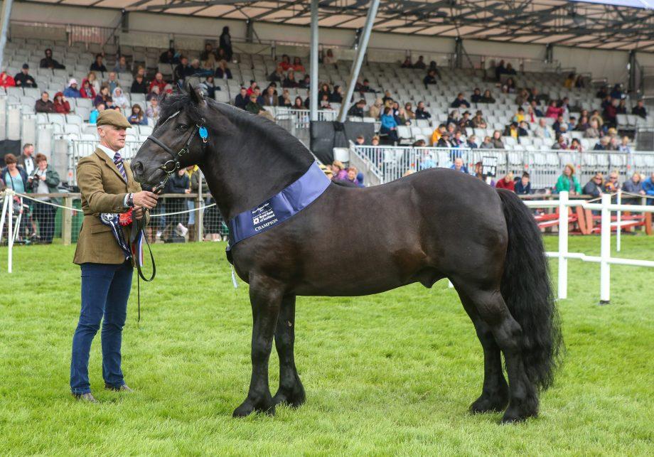 Dales stallion Kilmannan Robert The Bruce