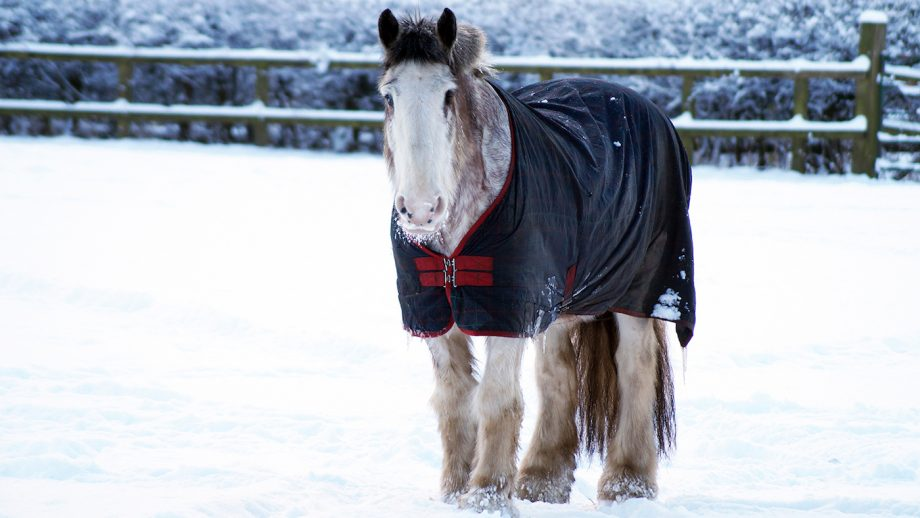 Clydesdale horse Redwings Horse Sanctuary Stephen Fry