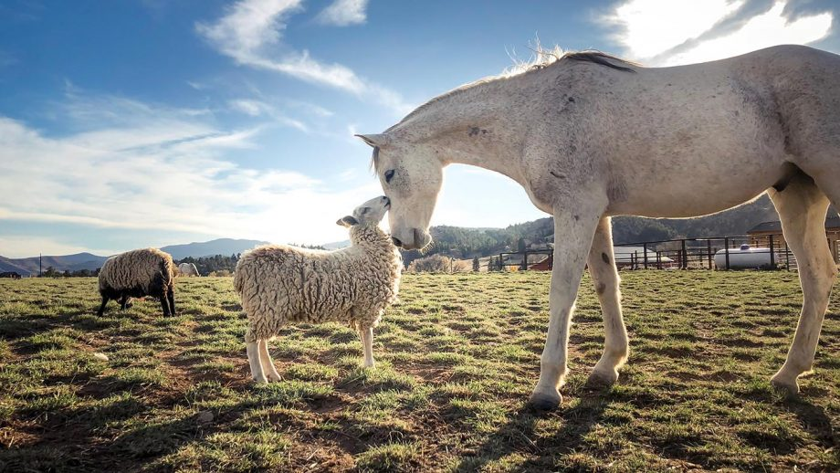 TTT3DX Horse and sheep kissing in field