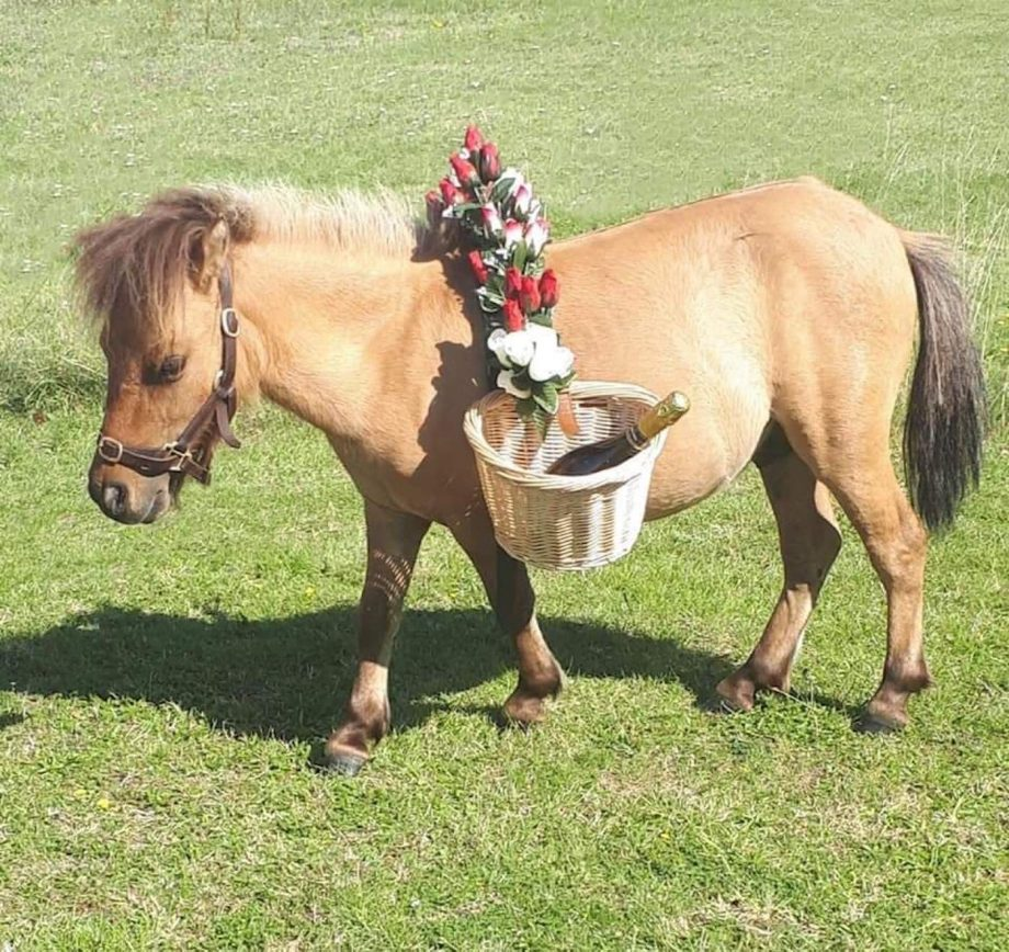 Shetland pony therapy pony