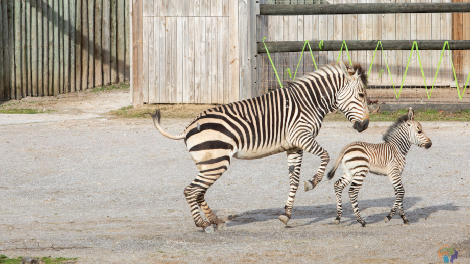 Hartmann's mountain zebra foal born Zoo Knoxville Tennessee United States