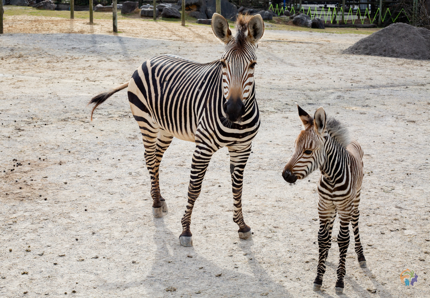 Potro zebra da montanha de Hartmann nascido no Zoo Knoxville 1