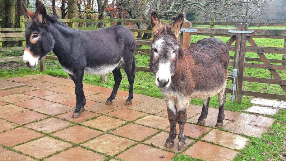 Donkey companion the Donkey Sanctuary