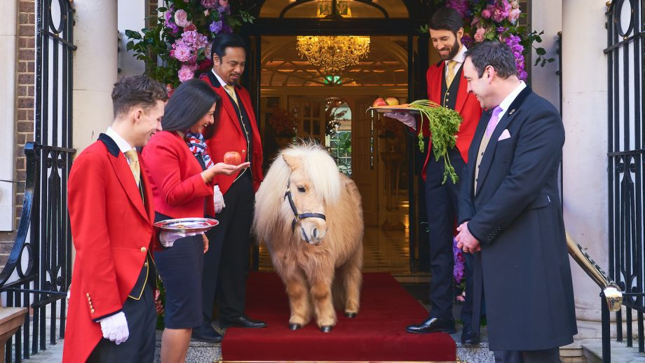 Teddy the Shetland afternoon tea The Goring