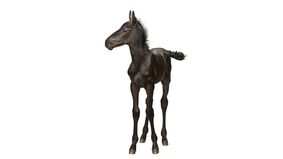 CX5PCB Foal, 1 week old, standing against white background